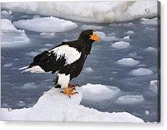 Stellers Sea Eagle On Ice Hokkaido Japan Acrylic Print by Thomas Marent