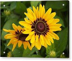 Steve's Sunflower Acrylic Print by Bonita Hensley