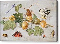 Still Life Of Branch Of Gooseberries Acrylic Print by Jan Van Kessel