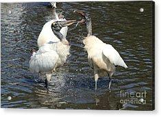 Stork Squabble Acrylic Print by Theresa Willingham