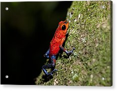 Strawberry Poison Frog Acrylic Print by Science Photo Library