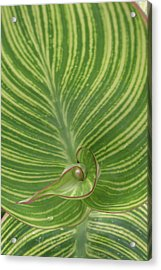 Striped Canna Leaf Abstract Acrylic Print by Anna Miller