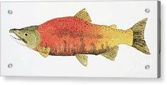 Study Of A Male Kokanee Salmon In Spawning Brilliance Acrylic Print by Thom Glace