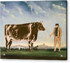 Study Of A Shorthorn Acrylic Print by William Joseph Shayer
