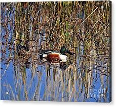 Stunning Shovelers Acrylic Print by Al Powell Photography USA