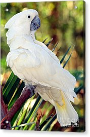 Sulfur-crested Cockatoo Acrylic Print by Millard H. Sharp