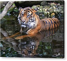 Sumatran Tiger Keeping Cool In Summer Acrylic Print by Margaret Saheed