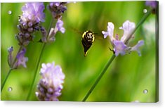 Summer Time Mr Bumble Acrylic Print by Catherine Davies