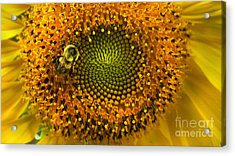 Sunflower An Bumble Acrylic Print by Brittany Perez