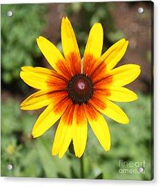 Sunflower At Full Bloom  Acrylic Print by John Telfer