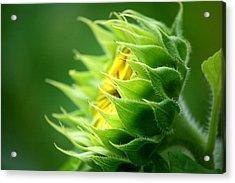 Awakening Sunflower Acrylic Print by Neal Eslinger