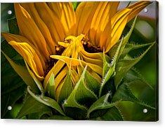 Sunflower Acrylic Print by Bill Wakeley