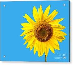 Sunflower Blue Sky Acrylic Print by Edward Fielding