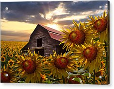 Sunflower Dance Acrylic Print by Debra and Dave Vanderlaan