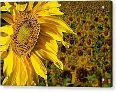 Sunflower Acrylic Print by Donald  Erickson