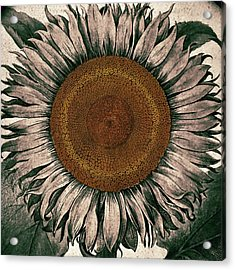 Sunflower - Face To The Sunshine Acrylic Print by Patricia Januszkiewicz