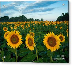 Sunflower Field At Sunrise Acrylic Print by Jack Nevitt
