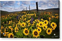 Sunflower Field Acrylic Print by Cole Black