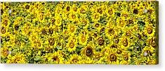 Sunflower Field Acrylic Print by Donald  Erickson