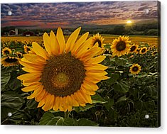 Sunflower Field Forever Acrylic Print by Susan Candelario