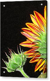 Sunflower In The Making Acrylic Print by Joyce Dickens