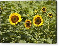 Sunflower Patch Acrylic Print by Bill Cannon