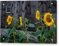 Sunflower Quartet Acrylic Print by Bill Wakeley