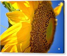 Sunflower Two Acrylic Print by Chris Bordeleau