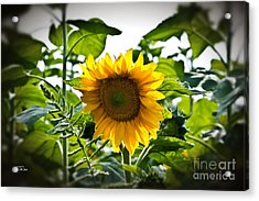 Sunflower Vignette Edges Acrylic Print by Ms Judi