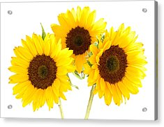 Sunflowers Acrylic Print by Claudio Bacinello