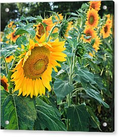 Sunflowers For Wishes Acrylic Print by Bill Wakeley