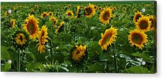 Sunflowers Galore Acrylic Print by Bruce Bley