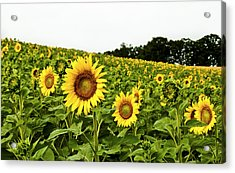 Sunflowers On A Hill Acrylic Print by Christi Kraft