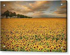 Sunflowers Acrylic Print by Piotr Krol (bax)
