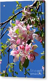 Sunlight On Spring Blossoms Acrylic Print by Carol Groenen