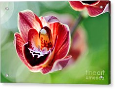 Sunlit Miniature Orchid Acrylic Print by Kaye Menner