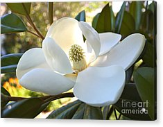 Sunlit Southern Magnolia Acrylic Print by Carol Groenen
