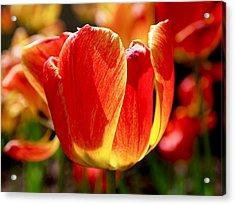 Sunlit Tulips Acrylic Print by Rona Black