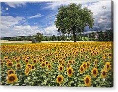 Sunny Sunflowers Acrylic Print by Debra and Dave Vanderlaan