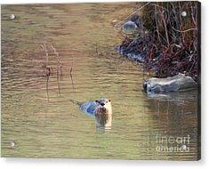 Sunrise Otter Acrylic Print by Mike Dawson