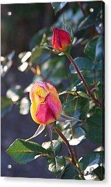 Sunset Roses Acrylic Print by Paula Tohline Calhoun