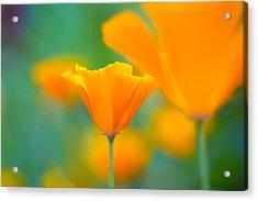 Sunshine Poppy Acrylic Print by Sarah-fiona  Helme