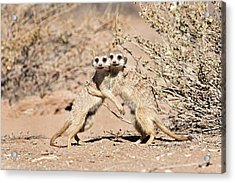 Suricates At Play Acrylic Print by Tony Camacho