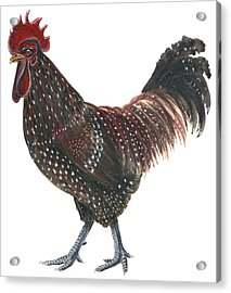 Sussex Rooster Acrylic Print by Anonymous