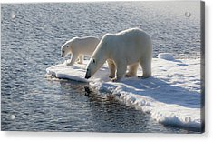 Svalbard Mother And Child Polar Bears Acrylic Print by Janet Muir