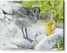 Swallow-tailed Gull Chick Acrylic Print by William H. Mullins