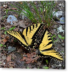 Swallowtail Butterfly Couple Acrylic Print by Eva Thomas