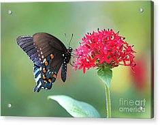 Swallowtail Acrylic Print by Pamela Gail Torres