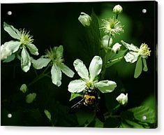 Swamp Rose With Carpenter Bee Acrylic Print by Rebecca Sherman