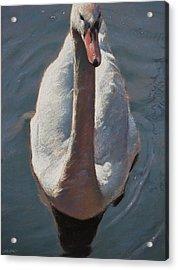 Swan Acrylic Print by Christopher Reid